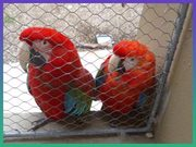 red head, blue and gold wing macaws for sale